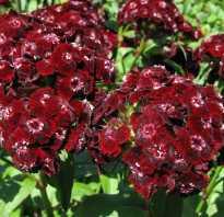 Гвоздики цветы бога