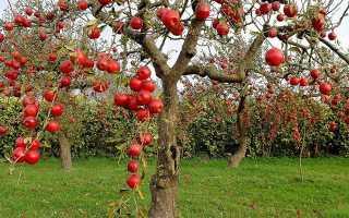 Лучшие сорта яблонь для нижегородской области