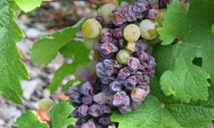 Почему вянет виноград