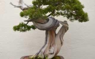 Можжевельник бонсаи выращивание