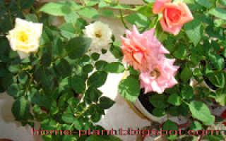Как ухаживать за розами зимой в домашних условиях