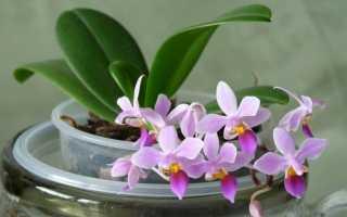 Можно ли вырастить орхидею из семян и как это сделать