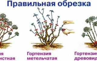 Обрезка гортензии весной уход за гортензией