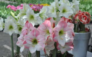 Амариллисы цветы уход осенью зимой