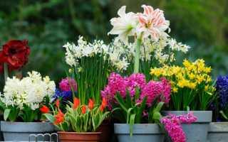 Как ухаживать за цветами луковичными