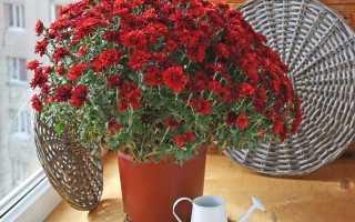 Как сохранить хризантемы зимой в квартире