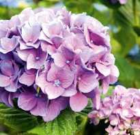 Как размножить гортензию садовую