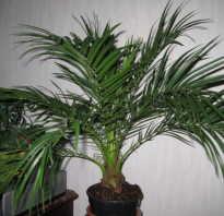 Комнатные цветы уход пальма