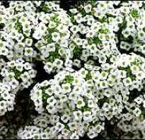 Алиссум бурачок лобулярия цветочные коврики с медовым ароматом