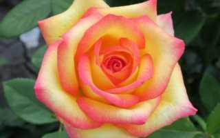 Как посадить розу поль гоген
