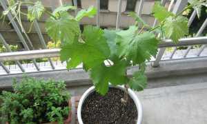 Комнатный виноград сохнут листья