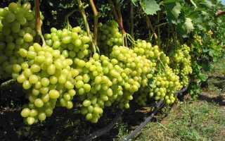 Чем удобрить виноград на зиму
