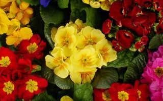 Коллекция цветущих комнатных примул