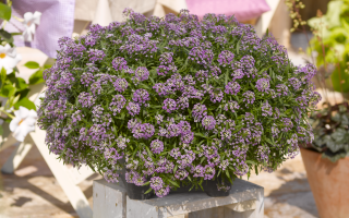 Выращивание из семян лобулярии