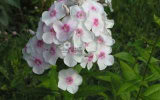 Флокс сорта европа цветет ярко белыми цветками