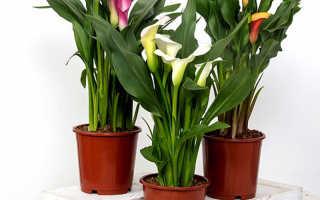 Цветы в доме калла
