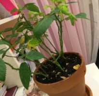 Домашняя роза сбрасывает листья что делать