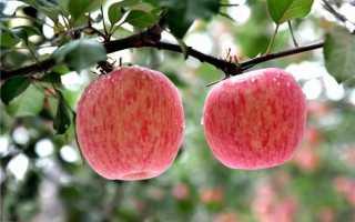 Фуджи яблоня описание фото