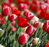 Почему тюльпаны мелкие