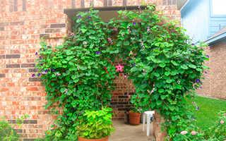 Садовые лианы вьющиеся растения для дачи