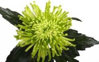 Какие особенности имеет хризантема анастасия