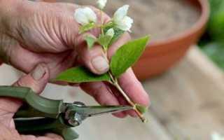 Как размножить жасмин черенками