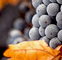 Осенняя обработка винограда обрезка