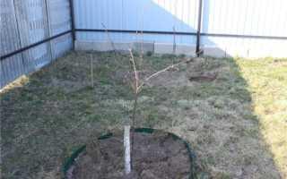 Пересадка колоновидной яблони на новое место осенью