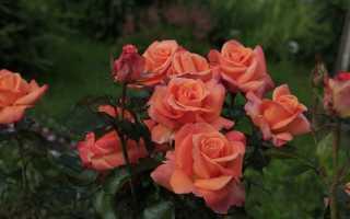 Как укрыть на зиму чайно гибридные розы