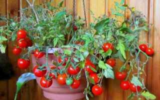 Карликовые помидоры комнатные