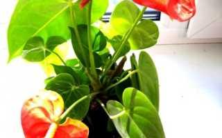 Комнатные растения для кухни фото и название