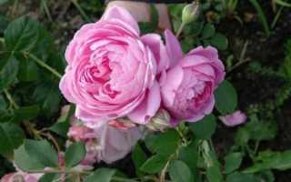 Выращиваем розу сорта аленушка на дачном участке
