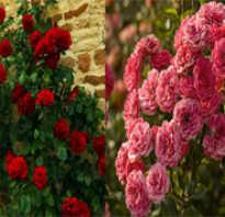 Вьющиеся и плетистые розы особенности и отличие