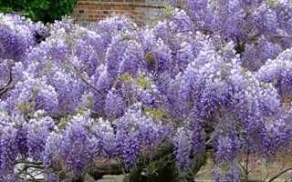 Цветы лиана глициния