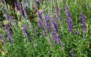 Шалфей лекарственный посадка и уход в саду