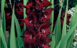 Как красиво посадить гладиолусы на участке фото