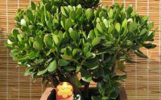 Как правильно ухаживать за цветком денежное дерево в домашних условиях