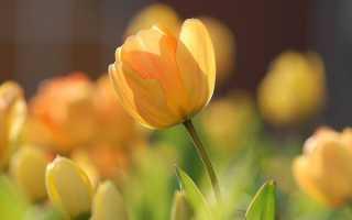 Почему тюльпаны не цветут чем это связано Заранее спасибо