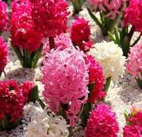 Гиацинт как цветет