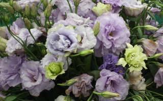Цветы эустомия какие