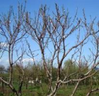 Обрезка саженца яблони при посадке осенью