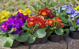 Можно ли примулу выращивать как комнатное растение
